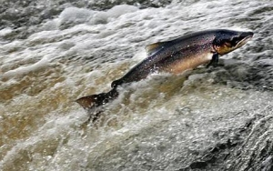 What's Wrong with Farm Raised Salmon?